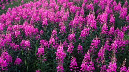 Fireweed growing over the buried Alaska Pipeline. Photo credit: Michael S. Quinton
